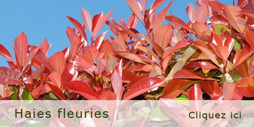 Haie fleurie qui pousse vite fabulous massif de cornouiller panach et autres arbustes au pied - Fleur qui pousse vite ...
