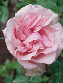 categorie-rosiers-rose-de-the