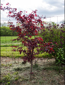 237-acer-palmatum-bloodgood-f.-d.-richards