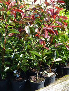 2492-photinia-red-robin