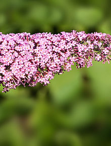 331-buddlea-pink-delight