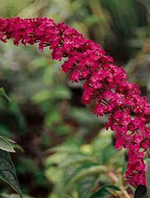 3331-buddlea-royal-red