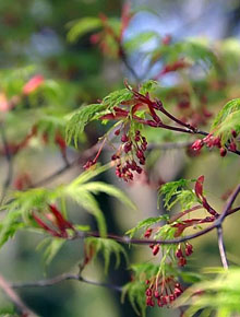 6012-Acer_palmatum_Seiryu_by-David-Stang