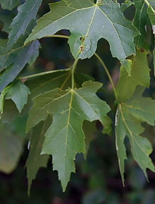 6026-Acer_saccharinum_by-David-Stang