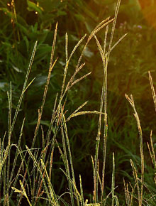 6085-Andropogon_gerardii-yellow-arrow