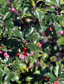 6847-Ilex_meserveae_heckenfee_by-David-J.-Stang