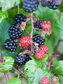 7593-rubus-frut.-chester-thornless
